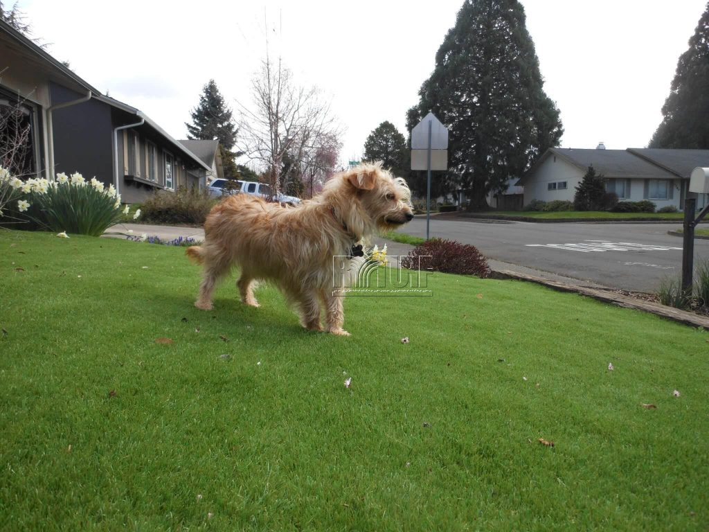 Dog and Artificial Turf